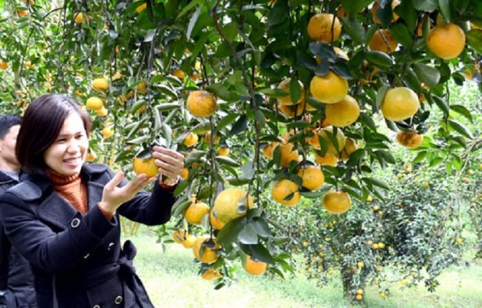 Chuyên cung cấp cây giống cam cara ruột đỏ, cam ruột đỏ không hạt, cam kết chuẩn giống0