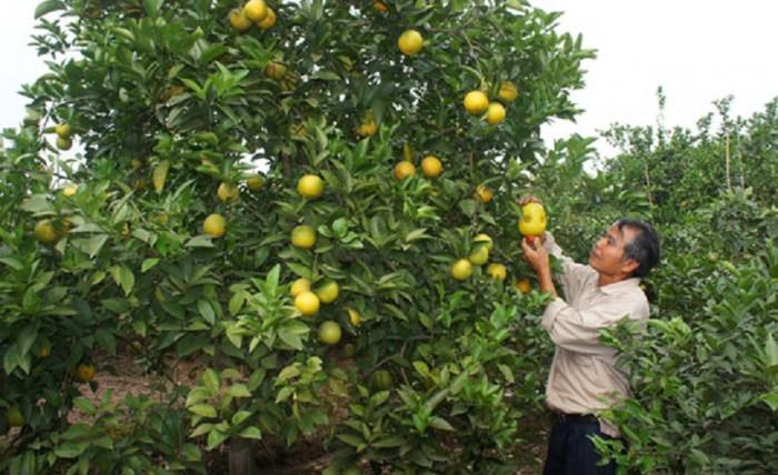 Chuyên cung cấp cây giống cam cara ruột đỏ, cam ruột đỏ không hạt, cam kết chuẩn giống2