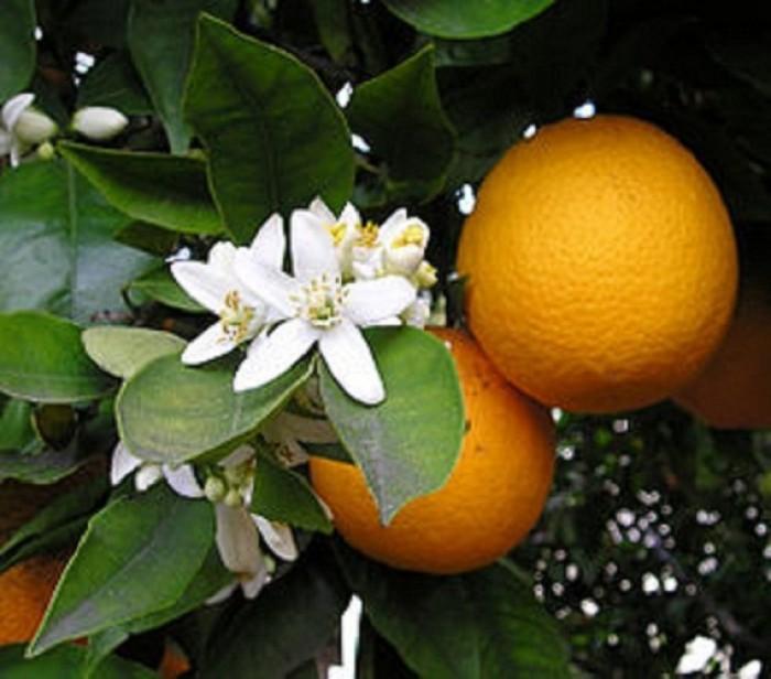 Chuyên cung cấp cây giống cam đường canh, cam canh, cam kết chuẩn giống, số lượng lớn.1