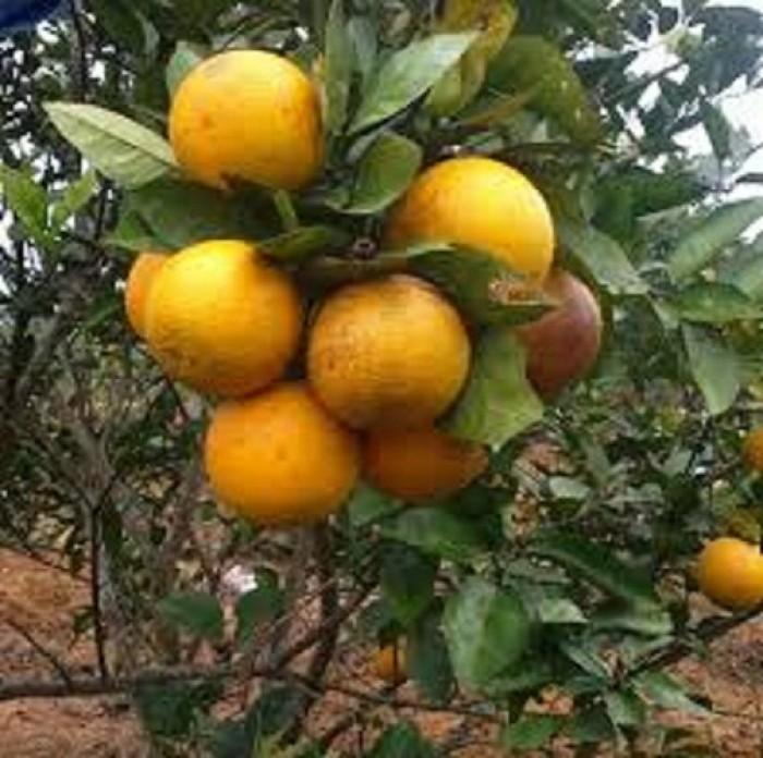 Chuyên cung cấp cây giống cam đường canh, cam canh, cam kết chuẩn giống, số lượng lớn.3