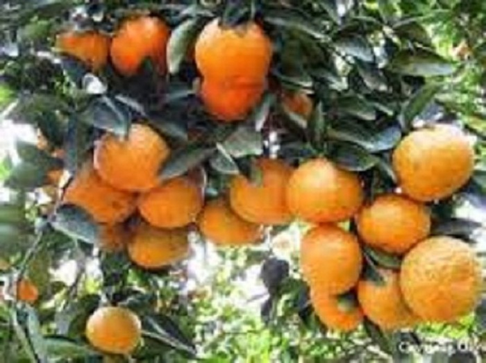 Chuyên cung cấp cây giống cam đường canh, cam canh, cam kết chuẩn giống, số lượng lớn.5
