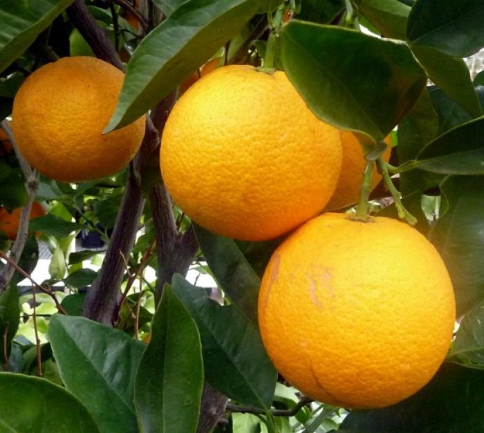 Chuyên cung cấp cây giống cam đường canh, cam canh, cam kết chuẩn giống, số lượng lớn.6