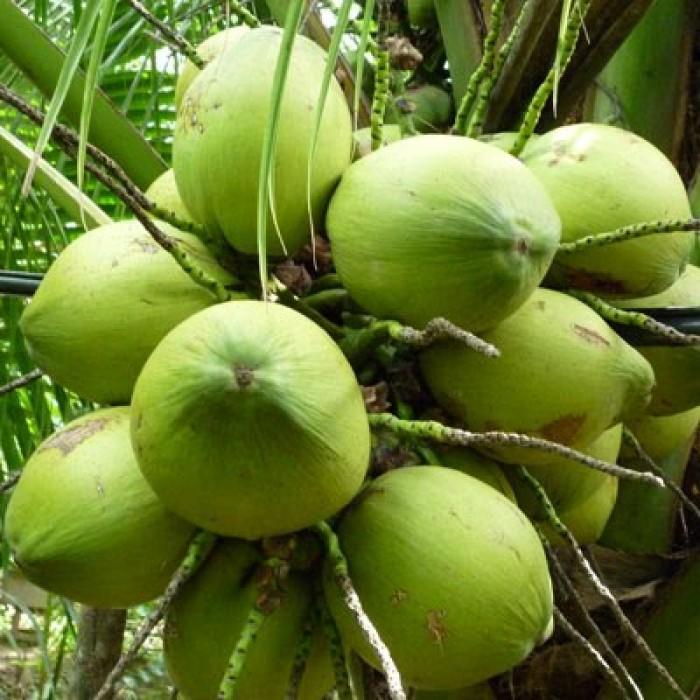 Chuyên Cây giống dừa xiêm lùn, dừa lửa, dừa xiêm dây, dừa xiêm xanh, cam kết chuẩn giống4