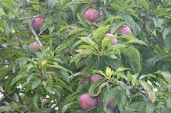 Chuyên cung cấp cây giống mận tam hoa, giống cây mận tam hoa, giao cây toàn quốc.4