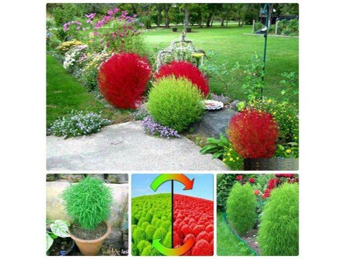 Hạt giống cỏ đổi màu kochia0