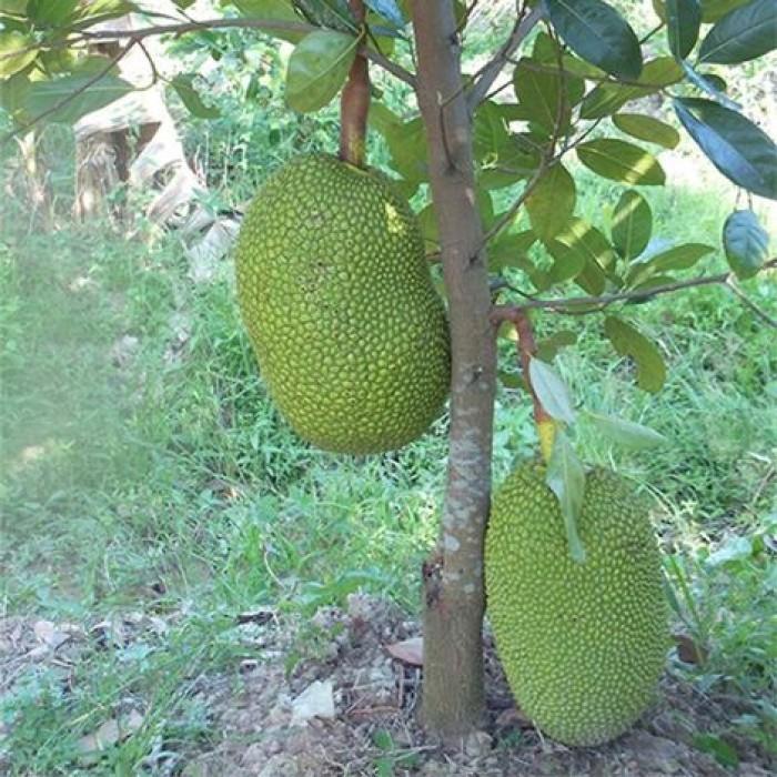 Chuyên cung cấp cây giống mít thái siêu sớm, mít tứ quý, cam kết chuẩn giống, số lượng lớn, giao cây toàn quốc.1