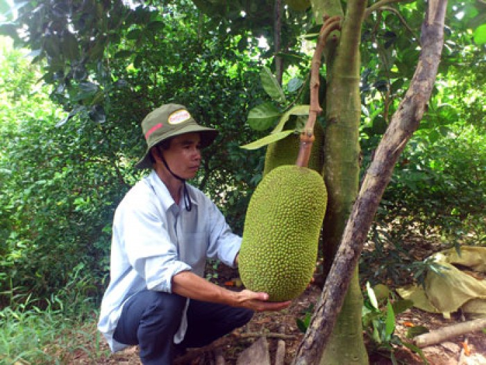 Chuyên cung cấp cây giống mít thái siêu sớm, mít tứ quý, cam kết chuẩn giống, số lượng lớn, giao cây toàn quốc.2