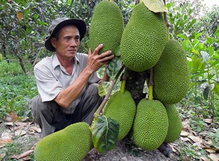 Chuyên cung cấp cây giống mít thái siêu sớm, mít tứ quý, cam kết chuẩn giống, số lượng lớn, giao cây toàn quốc.4