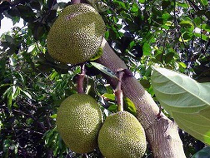 Chuyên cung cấp cây giống mít thái siêu sớm, mít tứ quý, cam kết chuẩn giống, số lượng lớn, giao cây toàn quốc.5