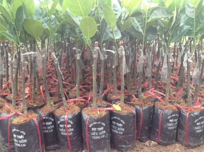 Chuyên cung cấp cây giống mít thái siêu sớm, mít tứ quý, cam kết chuẩn giống, số lượng lớn, giao cây toàn quốc.6
