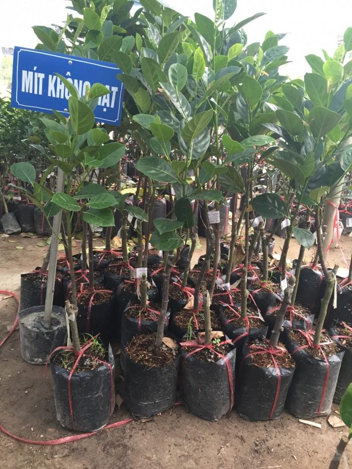 Chuyên cung cấp cây giống mít thái siêu sớm, mít tứ quý, cam kết chuẩn giống, số lượng lớn, giao cây toàn quốc.8