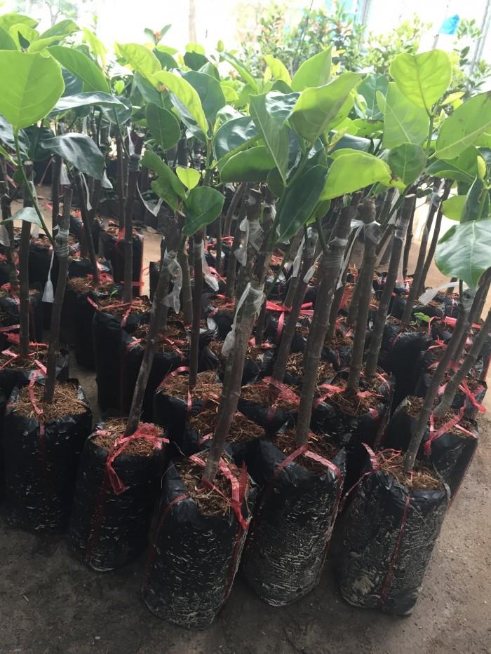 Chuyên cung cấp cây giống mít thái siêu sớm, mít tứ quý, cam kết chuẩn giống, số lượng lớn, giao cây toàn quốc.9