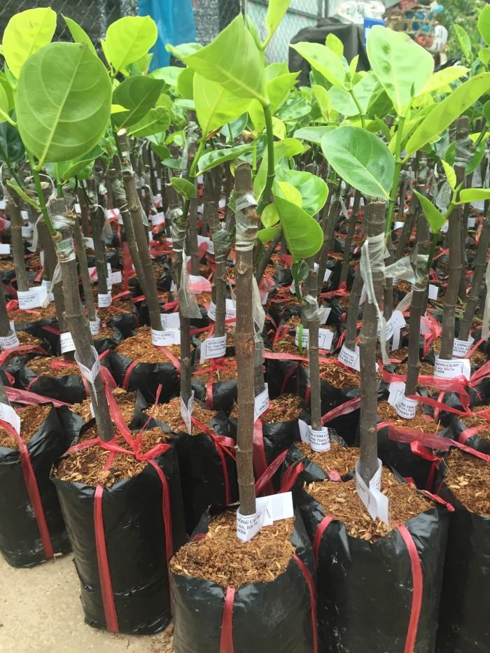 Chuyên cung cấp cây giống mít thái siêu sớm, mít tứ quý, cam kết chuẩn giống, số lượng lớn, giao cây toàn quốc.12
