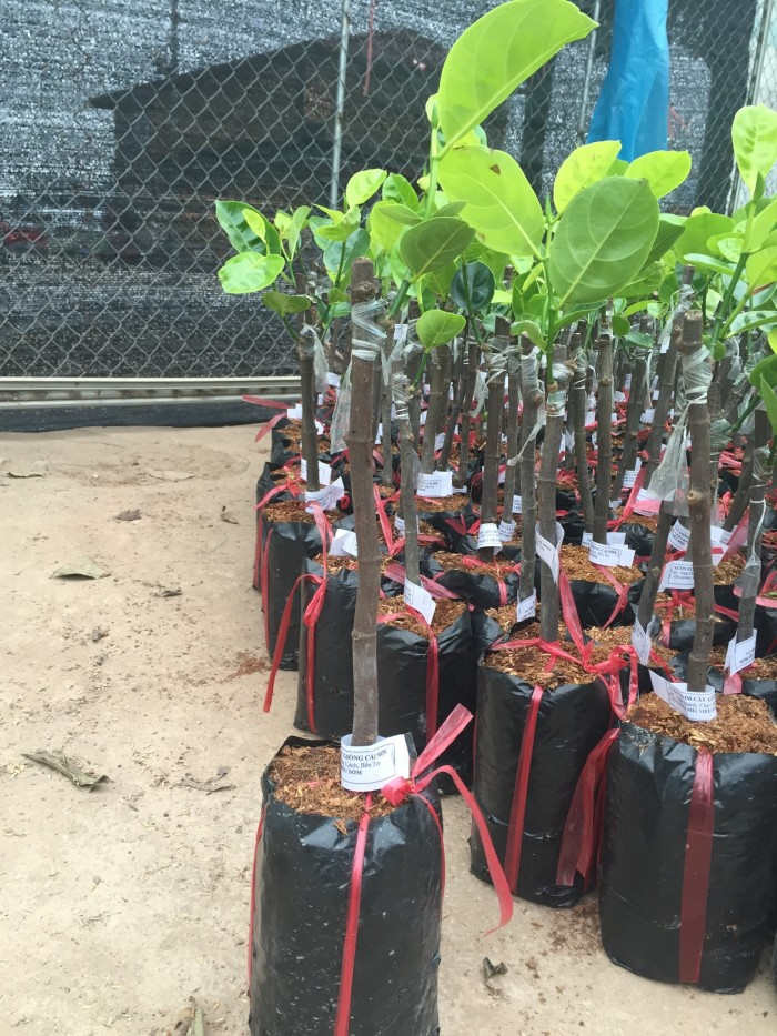 Chuyên cung cấp cây giống mít thái siêu sớm, mít tứ quý, cam kết chuẩn giống, số lượng lớn, giao cây toàn quốc.13