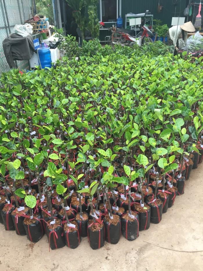 Chuyên cung cấp cây giống mít thái siêu sớm, mít tứ quý, cam kết chuẩn giống, số lượng lớn, giao cây toàn quốc.14