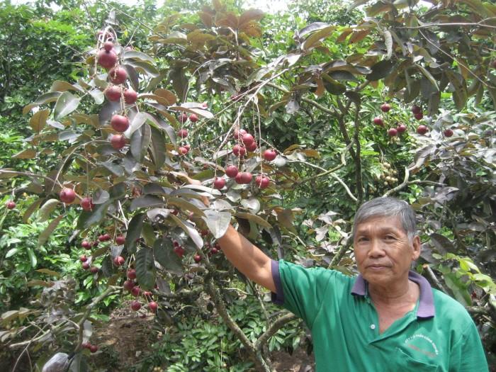 Chuyên cung cấp cây giống nhãn tím, giống cây nhãn tím, số lượng lớn, giao cây toàn quốc.1