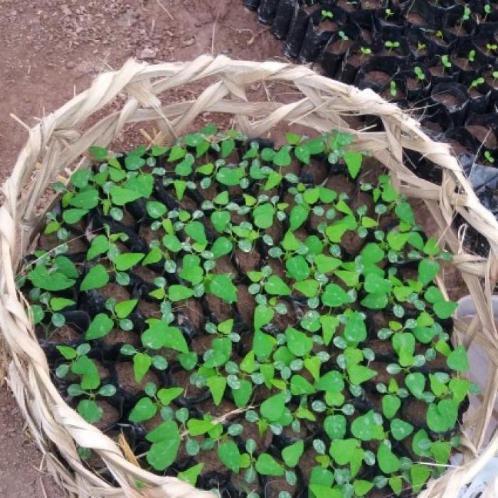 Chuyên cung cấp cây giống đu đủ hồng phi, đu đủ Đài Loan, giống cây đu đủ hồng phi.1