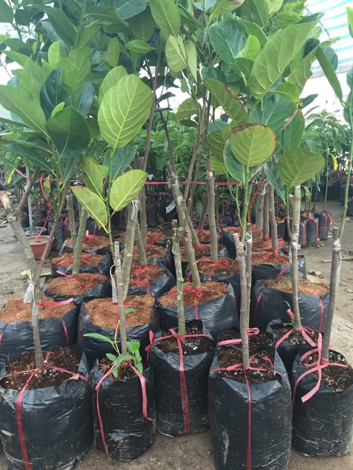 Mua bán cây giống mít thái tứ quý, mít siêu sớm, mít nghệ tứ quý, mít changai da xanh, số lượng lớn.6