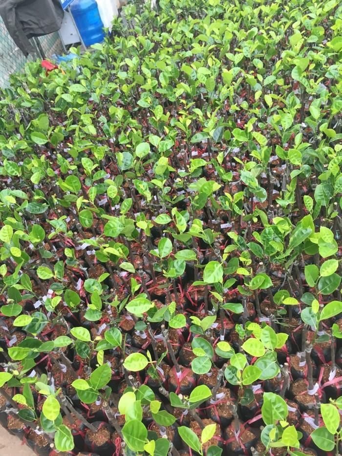 Mua bán cây giống mít thái tứ quý, mít siêu sớm, mít nghệ tứ quý, mít changai da xanh, số lượng lớn.9