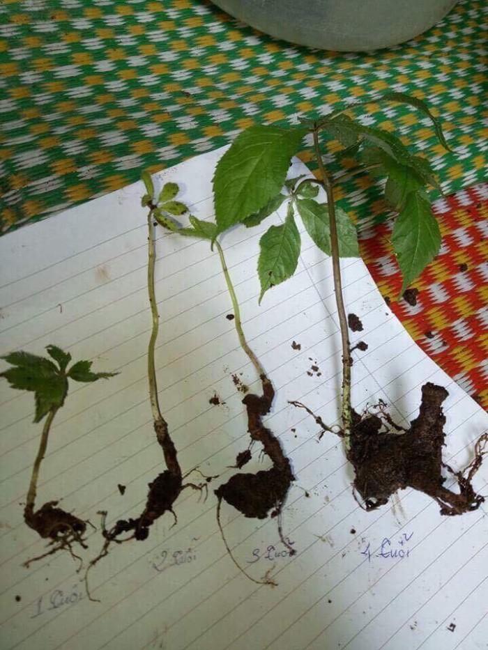 Giống sâm ngọc linh, giống cây sâm ngọc linh chuẩn, uy tín, chất lượng, hỗ trợ kĩ thuật trồng1