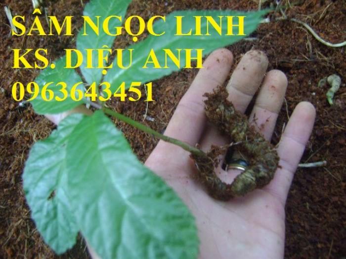 Giống sâm ngọc linh, giống cây sâm ngọc linh chuẩn, uy tín, chất lượng, hỗ trợ kĩ thuật trồng4