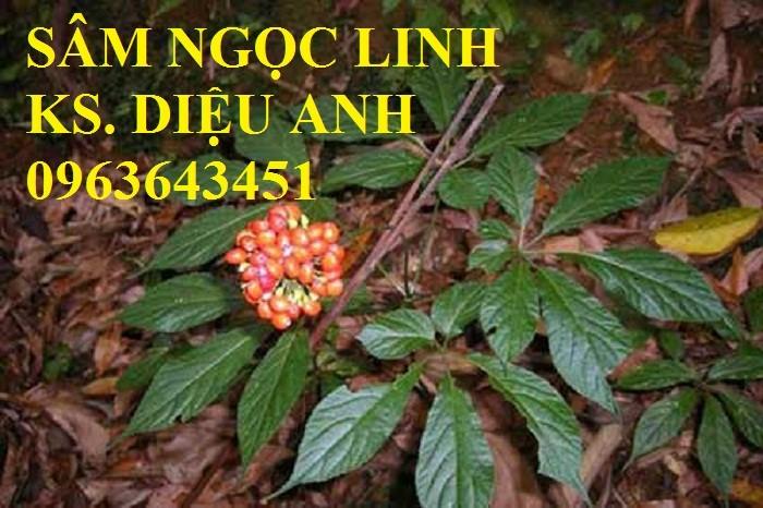 Giống sâm ngọc linh, giống cây sâm ngọc linh chuẩn, uy tín, chất lượng, hỗ trợ kĩ thuật trồng7