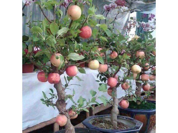Hạt giống cây ăn quả trồng lâu năm0