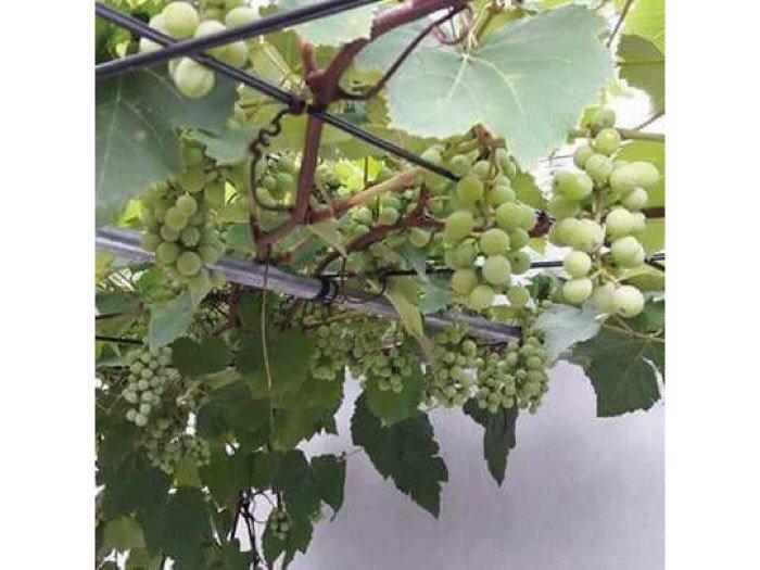 Hạt giống cây ăn quả trồng lâu năm4