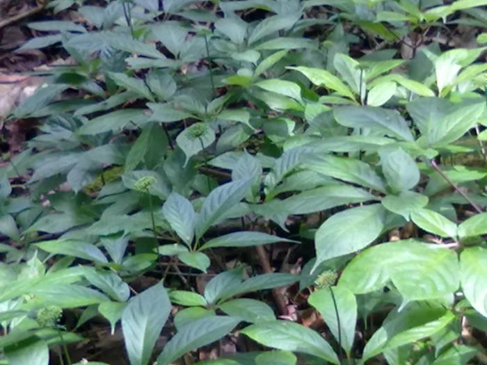 Chuyên cung cấp cây giống sâm ngọc linh, giống cây sâm ngọc linh, số lượng lớn, giao cây toàn quốc1