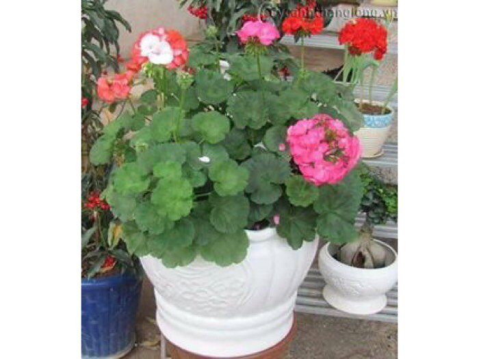 Hoa phong lữ thảo1