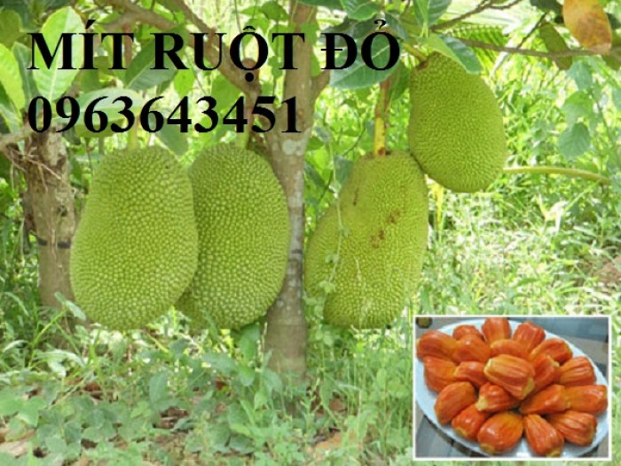 Kỹ thuật trồng và chăm sóc cây mít thái siêu sớm, mít changai da xanh, mít ruột đỏ, mít không hạt2