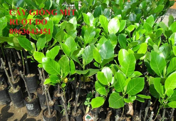 Kỹ thuật trồng và chăm sóc cây mít thái siêu sớm, mít changai da xanh, mít ruột đỏ, mít không hạt7