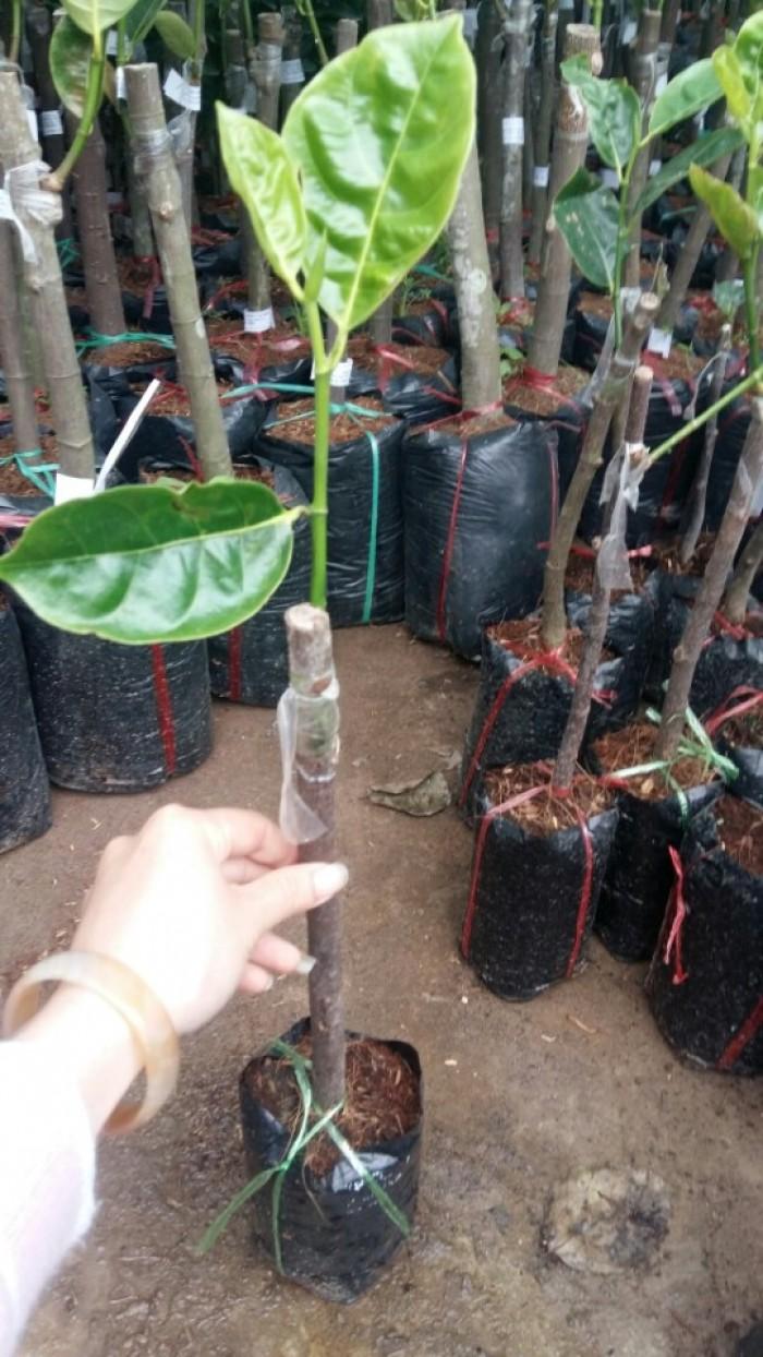 Kỹ thuật trồng và chăm sóc cây mít thái siêu sớm, mít changai da xanh, mít ruột đỏ, mít không hạt17