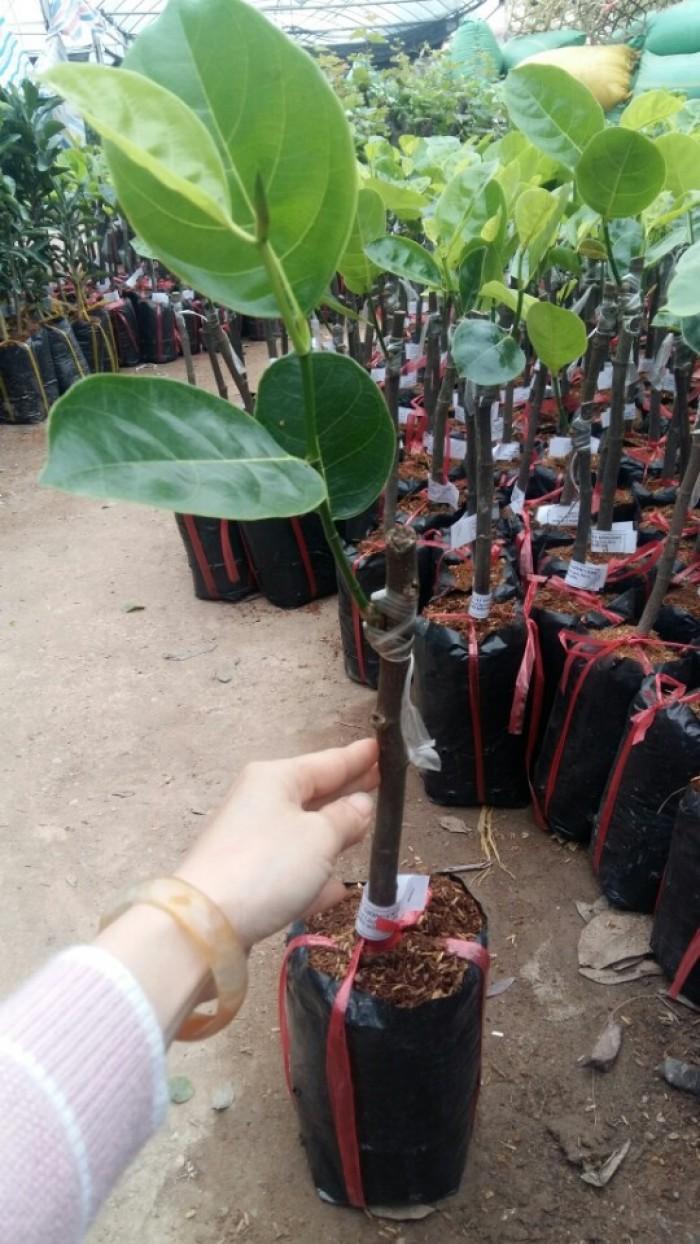 Kỹ thuật trồng và chăm sóc cây mít thái siêu sớm, mít changai da xanh, mít ruột đỏ, mít không hạt18