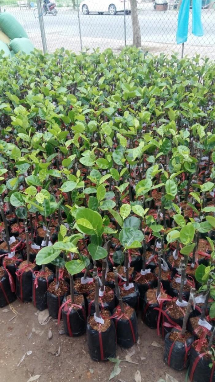 Kỹ thuật trồng và chăm sóc cây mít thái siêu sớm, mít changai da xanh, mít ruột đỏ, mít không hạt19