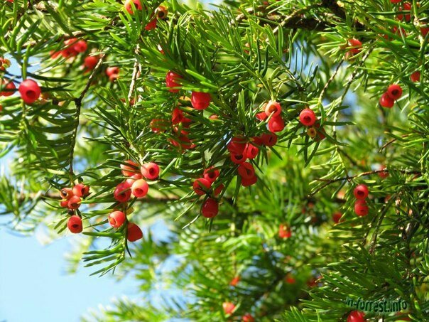 Cây thông đỏ lớn1