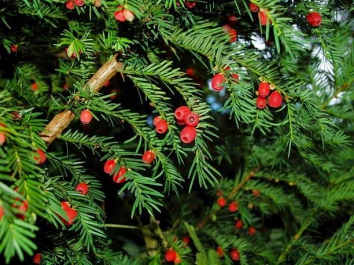 Cây thông đỏ lớn2