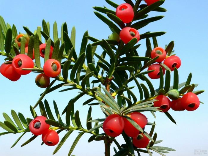 Cây thông đỏ lớn3