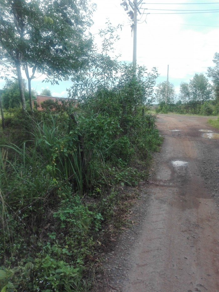 Bán vườn cao su DT 20 tại Chơn Thành