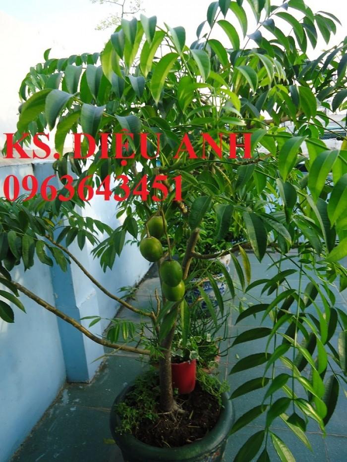Cây giống, cây to cóc bao tử, cóc thái bạn có muốn trồng không?1