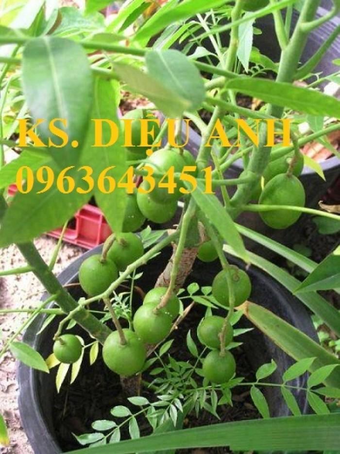 Cây giống, cây to cóc bao tử, cóc thái bạn có muốn trồng không?4