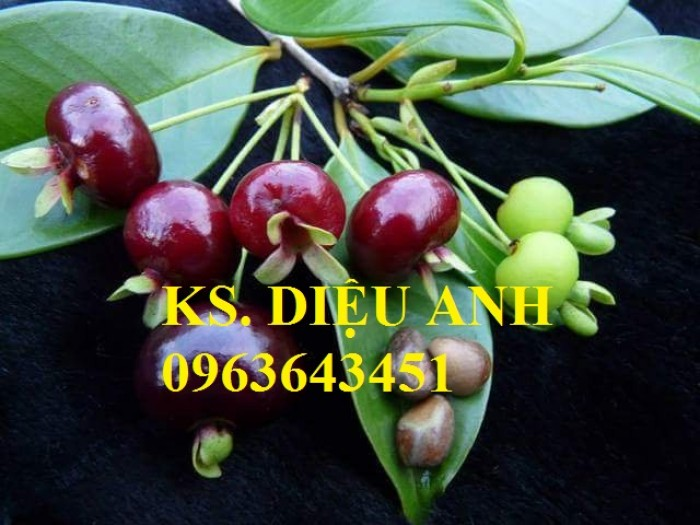 Cây giống cherry anh đào, cherry brazil, cây cherry nhiệt đới nhập khẩu bạn đã có chưa?9