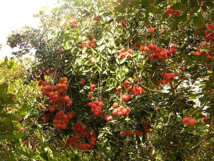 Tour Chợ Lách Bến Tre thưởng thức trái cây tại vườn