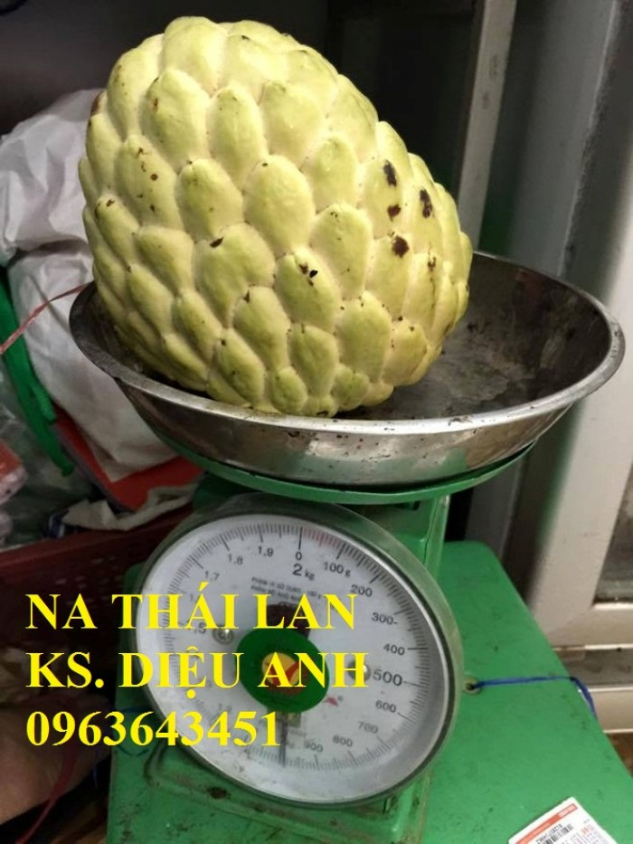 Chuyên cung cấp cây giống na Thái Lan, mãng cầu na Thái, na dai, na ta chuẩn giống, hỗ trợ kỹ thuật trồng1