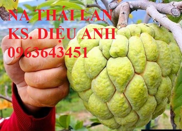 Chuyên cung cấp cây giống na Thái Lan, mãng cầu na Thái, na dai, na ta chuẩn giống, hỗ trợ kỹ thuật trồng2