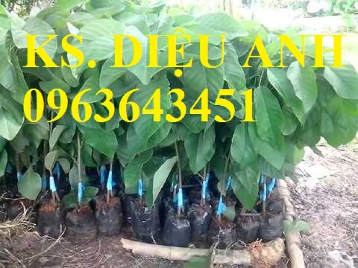 Chuyên cung cấp cây giống na Thái Lan, mãng cầu na Thái, na dai, na ta chuẩn giống, hỗ trợ kỹ thuật trồng3