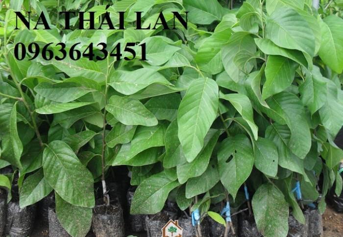 Chuyên cung cấp cây giống na Thái Lan, mãng cầu na Thái, na dai, na ta chuẩn giống, hỗ trợ kỹ thuật trồng5