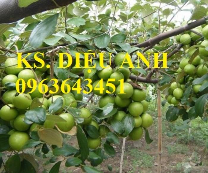 Mua cây giống táo: cây giống táo Thái, cây giống táo ngọt quả to, cây giống táo Thái Lan ở đâu?2