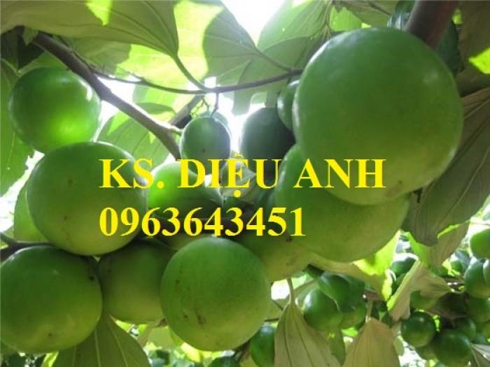 Mua cây giống táo: cây giống táo Thái, cây giống táo ngọt quả to, cây giống táo Thái Lan ở đâu?3