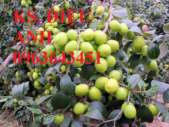 Mua cây giống táo: cây giống táo lê Đài Loan, cây giống táo lai lê, cây giống táo Đài Loan chuẩn F1 ở đâu?0